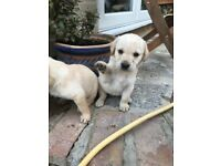 3 Labrador puppies for sale