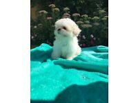 Imperial Shih Tzu Kerashishi/sweet Tooth Puppies - ONLY 1 BOY LEFT