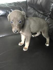 Lurcher puppy..Blue with tan legs