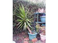 Large Yucca plant - about 1.5 m