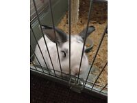 White and Grey bunny