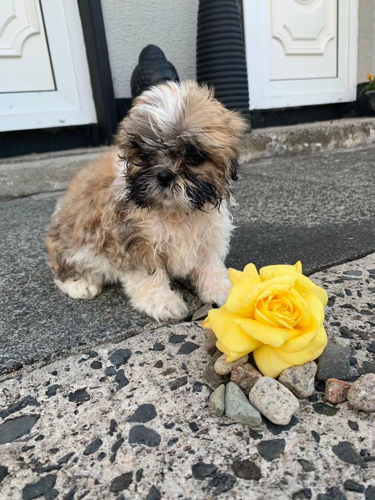 Puppies For Sale In Finaghy Belfast Gumtree