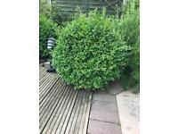 Buxus Ball Topiary Plant