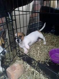 Pet puppies