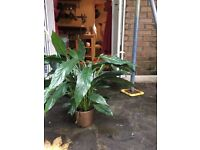Peace lily house plant - garden decoration, wedding, events