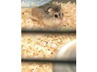 Roborovski Hamsters for Sale x2