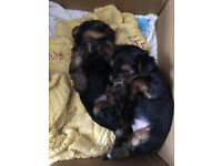 2 Yorkshire Terriers For Sale Boy and Girl