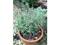 Rosemary herb in terracotta pot