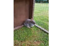 Baby rabbit for sale