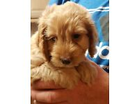 Gorgeous F1 cockapoo puppies only2 left