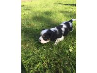 Tricolour King Charles Puppy For Sale