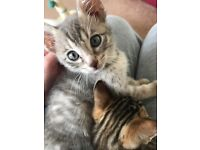 Two male bengal kittens for sale