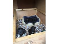 Patterdale/Lakeland terrier puppy's