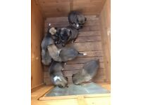 Japanese Akita Mix- Puppies for sale 7 girls and 2 boys