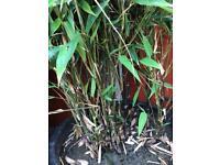 5 x large Bamboo plants