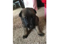 Malinois pup 8 weeks old ready to leave now