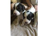 4 beautiful springer puppies including tri colour