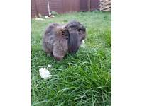 Large male rabbit free too a good home