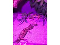 Leopard gecko x9