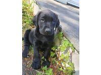 BLack labrador pup KC REGISTERED PUPPIES