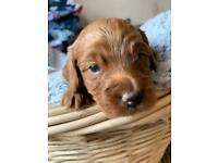 7 Cockapoo FB1 puppies for sale
