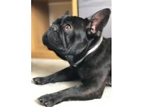 18 month Male French bulldog