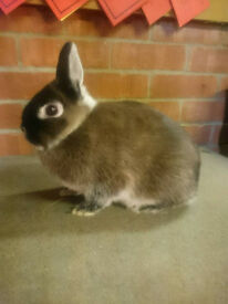 Small Netherland Dwarf Martin Sable Doe/Girl Rabbit
