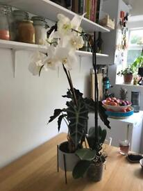 2 Big Orchids for sale