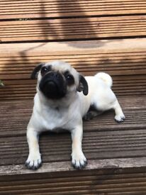 selling our 11 month old bitch pug