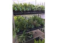 Tree ferns wholesale garden plants massive savings joblots , landscapers