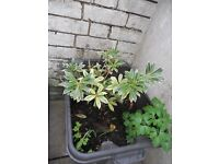 FREE Selection of garden plants and herbs