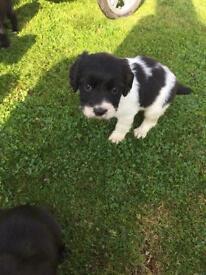 Springer Spaniel bitch pup