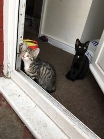 Two male 6 month old kittens needing new home