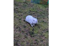 Beautiful white lop eared female