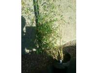 Umbrella bamboo plants