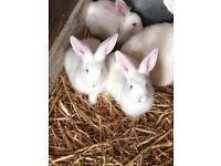 2 beautiful white baby rabbits