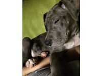 American bull Dane 12 weeks old boy great with other dogs and children, will be a very big dog