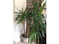 Large YUCCA houseplant for sale inc decorative plant pot