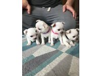 Stunning KC Reg Smooth Coat Chihuahuas