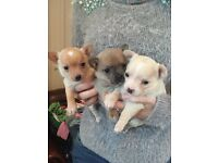 Pure bred chihuahua puppies