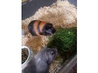 3 gorgeous guinea pigs