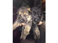 KC registered pure breed German Shephard puppies