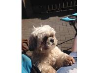 2 Lhasa Apso dogs for sale READVERTISING