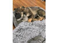 Sable German Shepard puppy