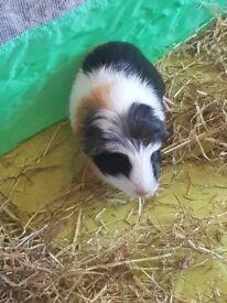 2 male guinea pig pups