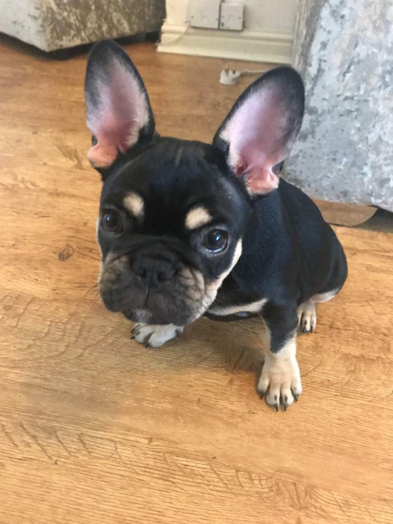 Outstanding Black and Tan male French bulldog pup