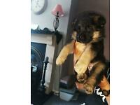 German shepherd pups KC registered