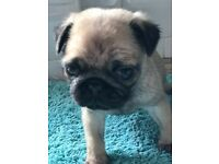2 beautiful KC Registered girl pug puppies