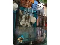 Female syrain hamster 🐹 ready now