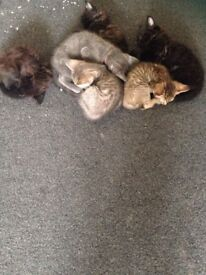 Lovely, adorable kittens, use litter tray, eats solids, wormed,